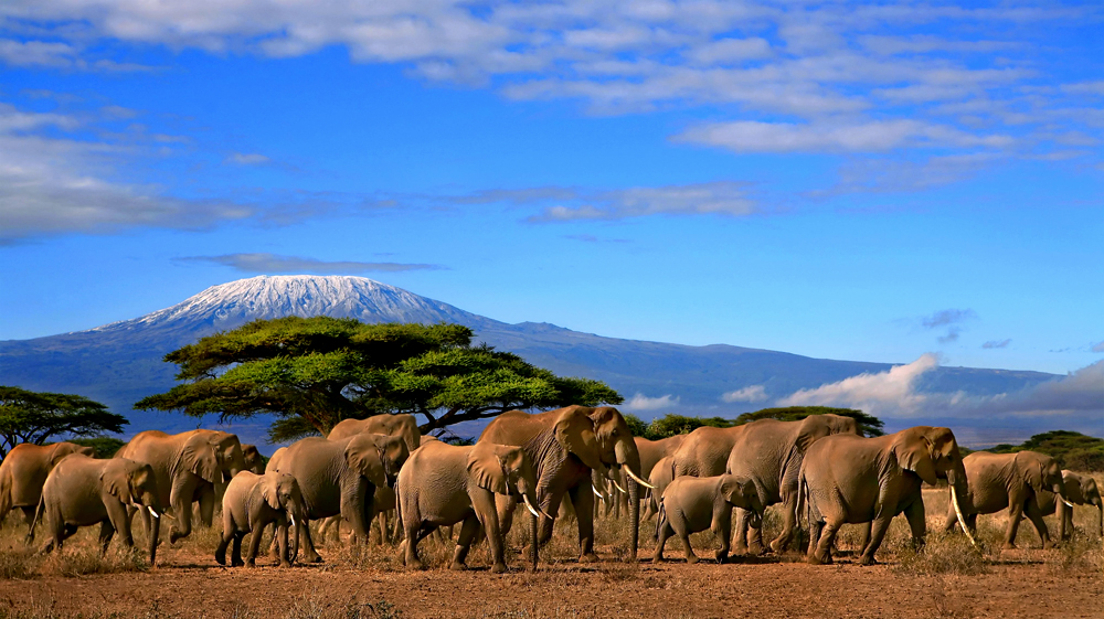 Elephants crossing a plain in front of Kilimanjaro.