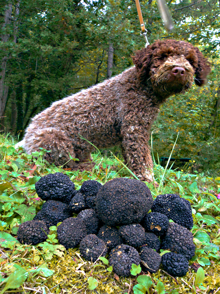 Truffle dog and black truffles_shutterstock_62312362-adj-resized