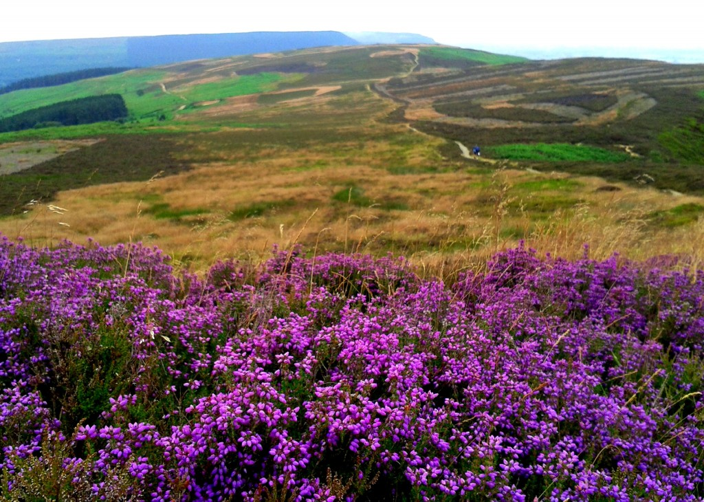 Heather of the North Moorlands