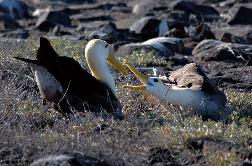 Bill-Abbott--060713b-0124-albatross-w-chick