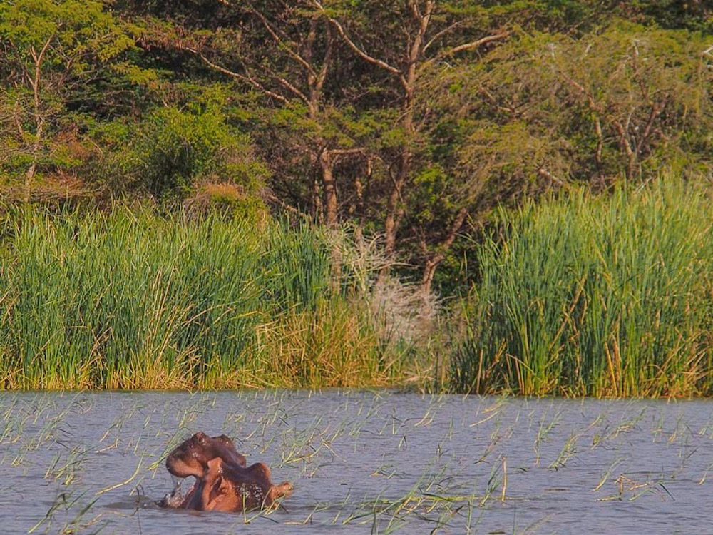 Hippo in Lake Chamo
