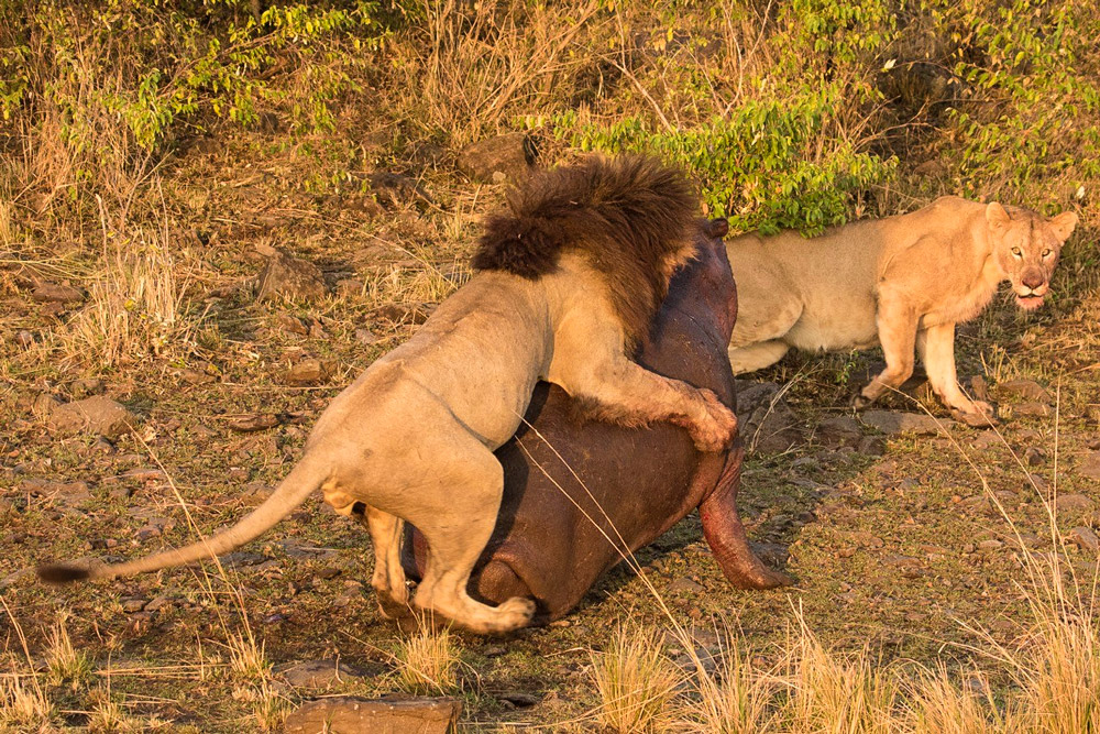 masai-mara-pax-john-sommerer-lion-hippo-cradj-1000