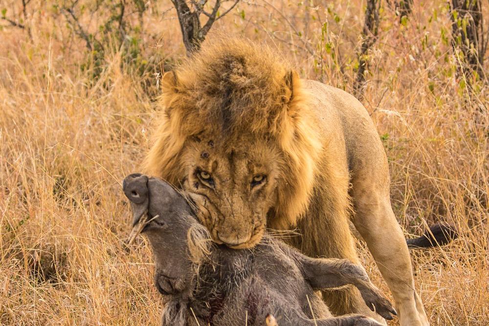 masai-mara-pax-john-sommerer-lion-warthog-cradj1000
