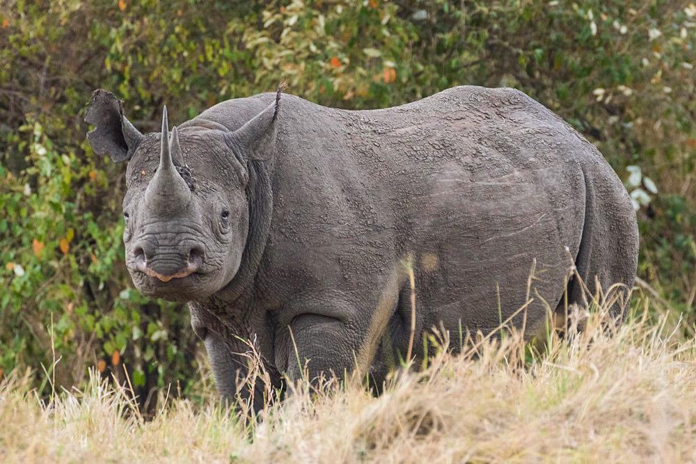 masai-mara-pax-john-sommerer-rhino-cradj-1000