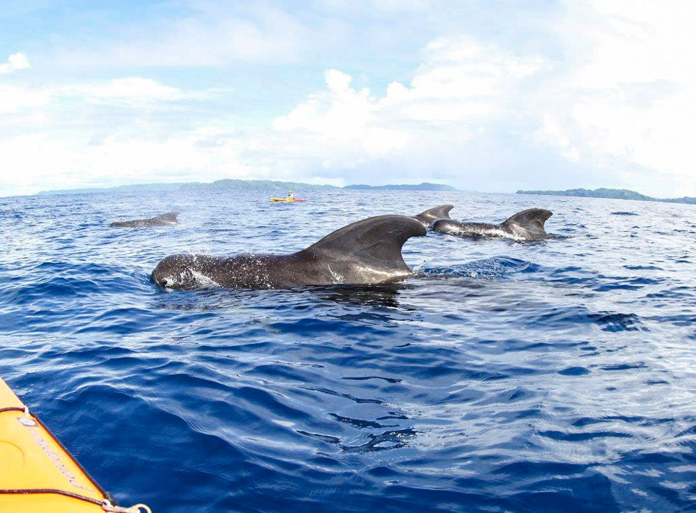 kayaking with pilot whales in Palau
