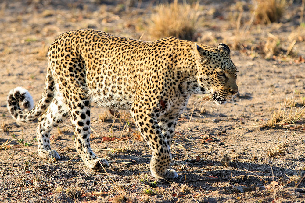 wounded leopard