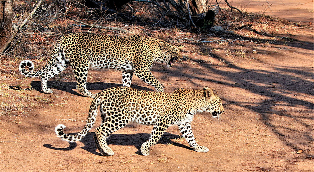 mother and daughter leopards